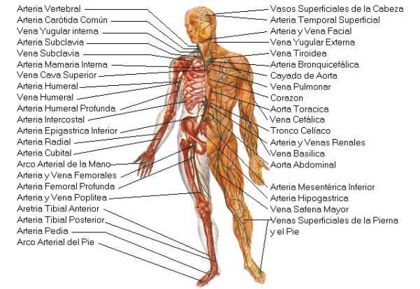Anatomía - cuerpo humano